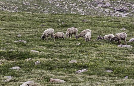 rocky mountain bighorn sheep: Flock of bighorn sheep