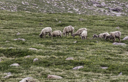 borrego cimarron: Rebaño de ovejas cimarrón
