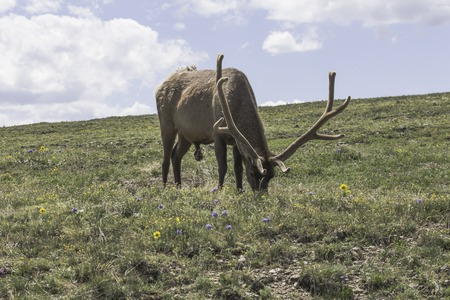 rocky mountain: Bull elk in Rocky Mountain National Park Stock Photo