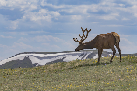 Elk in the mountains