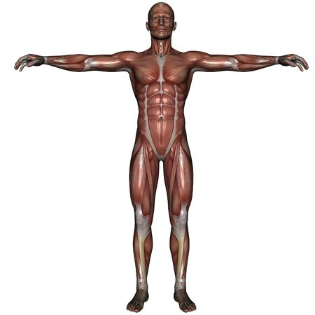 3D rendered muscle of man on white background isolated Stock Photo