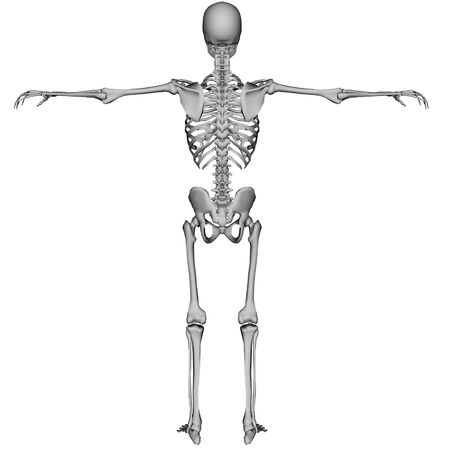 3D rendered skeleton on white background isolated