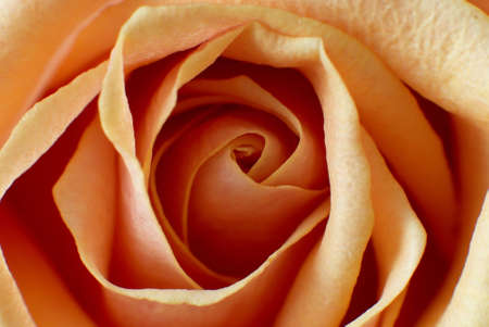 Macro image of a orange rose , close-up  Stock Photo