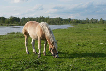 dun: Horse grazing on a beautiful meadow. Stock Photo