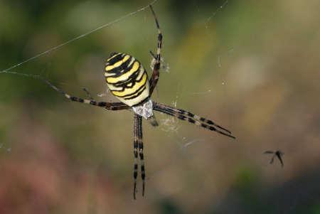 arachnoid: Vespa ragno (Argiope bruennichi) femmine. L'adulto di sesso femminile ha un luminoso argenteo cephalothorax (testa) e un colore giallastro con addome bianco e nero in tutta bar.  Archivio Fotografico