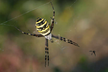 Wasp spider (Argiope bruennichi) female. The adult female has a shining silvery cephalothorax (head) and a yellowish abdomen with black and white bars across it.