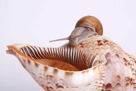 Roman Snail on shell. Stock Photo
