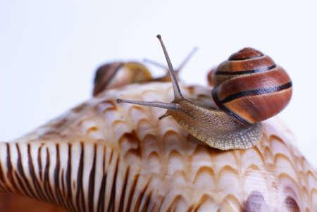 Roman snails on shell.