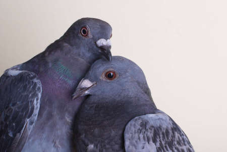 Two pigeons on creame bacground - portrait.