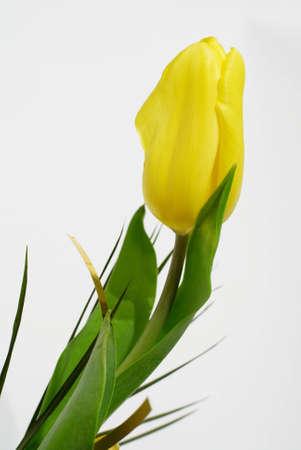 One yellow tulip.
