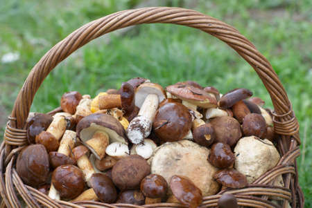 Many fresh mushrooms in basket on forest meadow.