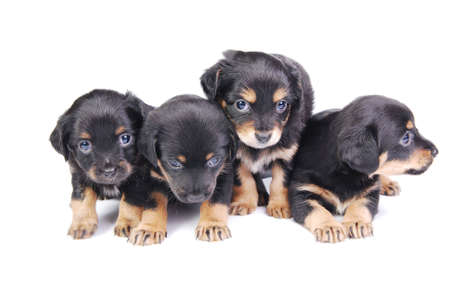 Group of Puppies. Four mongrel puppies on white background.