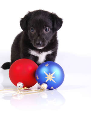 Black and White puppy and two Christmas balls on white background.