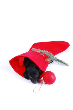 Black and White puppy in a Christmas stocking on white background. Stock Photo