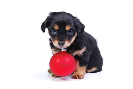 Mongrel puppy with red Christmas ball on white background.