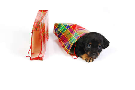 Puppy in  gift bag