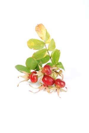 Branch  with fruits.  Dog Rose (Rosa rubiginosa) on white background.