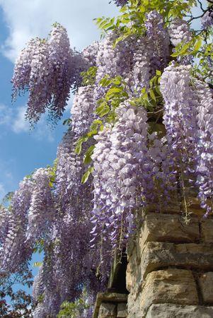 wisteria: purple blossoms of wisteria hangin from a pergola 1