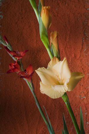 Corn flag, gladiolus against orange wall photo