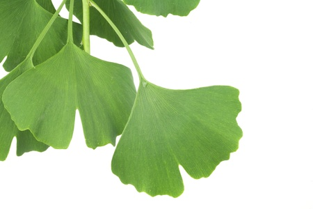 ginkgo leaves photo