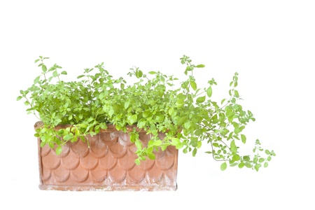 unprocessed: marjoram in a flowerbox, isolated on white background