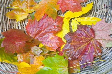 wet autumn leaves in a weathered basket after the rain photo