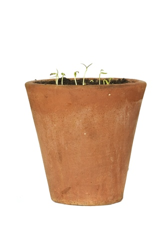 seedlings in a rustic flower pot, isolated on white background Stock Photo - 17444308