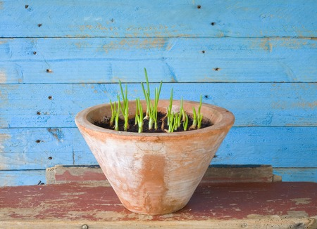 spring onions: seedlings in a flower pot, gardening, spring concept Stock Photo