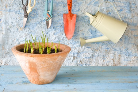 spring onions: seedlings in flower pot with gardening tools