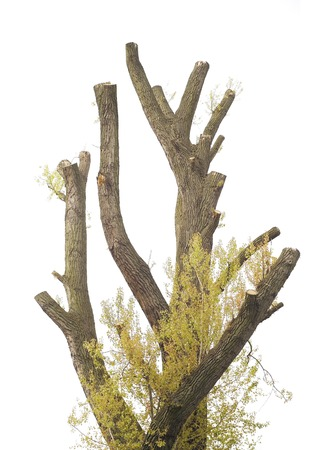 tree removal service: trimmed old cottonwood tree isolated on white background