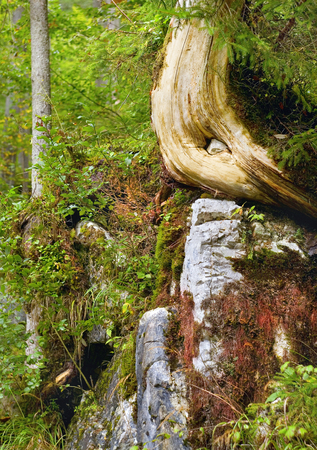 Detail of on old tree trunk in the virgin mountain forest of bavaria germany