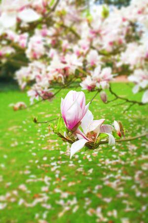 magnolia tree with delicate blossoms in a garden, narrow focus  springtime concept,good copy space