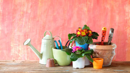 young primula flowers and gardening utensils, springtime gardening, good copy space