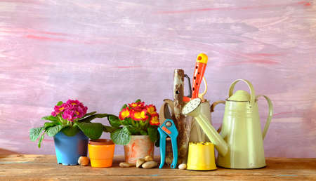 young primula flowers and gardening utensils, springtime gardening, panoramic good copy space Zdjęcie Seryjne