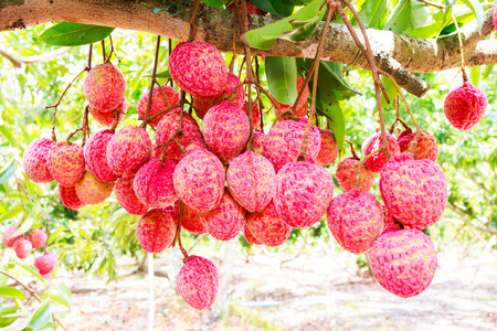 lechee: fresh lychee on tree in lychee orchard Stock Photo