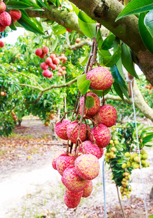 lychee: fresh lychee on tree in lychee orchard Stock Photo