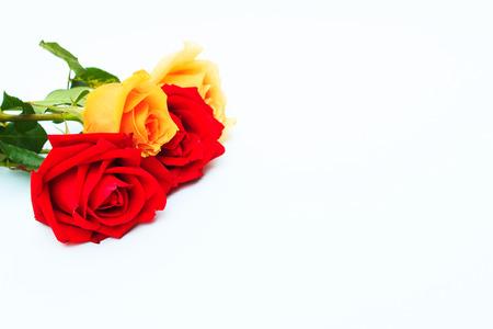 orange roses: Red and orange roses flowers on white background ,valentine day