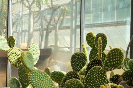 peyote: Cactus in a Cactus garden,Queen Sirikit Botanic Garden