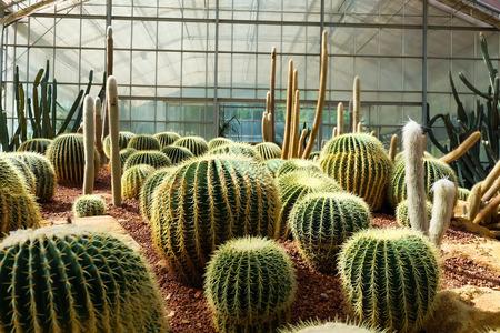 peyote: Cactus in a Cactus garden Stock Photo