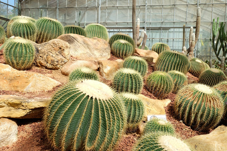 sirikit: Cactus in a Cactus garden,Queen Sirikit Botanic Garden