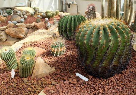 peyote: cactus in Queen Sirikit Botanic Garden.