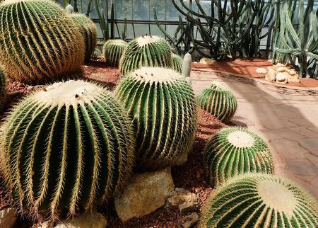 peyote: Cactus in a Cactus garden. Stock Photo
