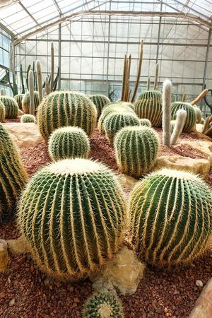 sirikit: cactus in Queen Sirikit Botanic Garden,chiangmai Thailand