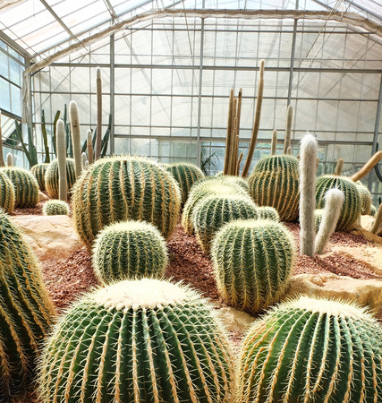 peyote: cactus in Queen Sirikit Botanic Garden,chiangmai Thailand