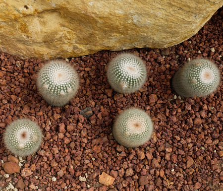 sirikit: cactus in Queen Sirikit Botanic Garden.