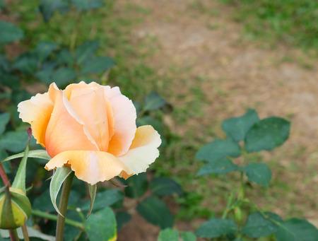 rosas naranjas: rosas anaranjadas hermosas en jard�n de rosas