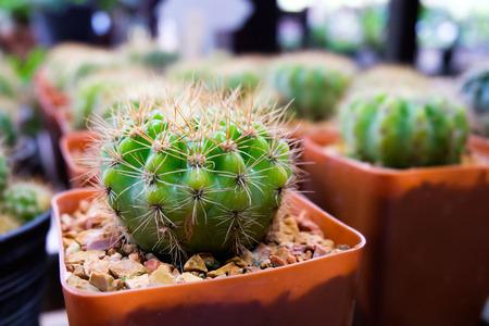 peyote: Cactus in Pots in a Cactus garden.