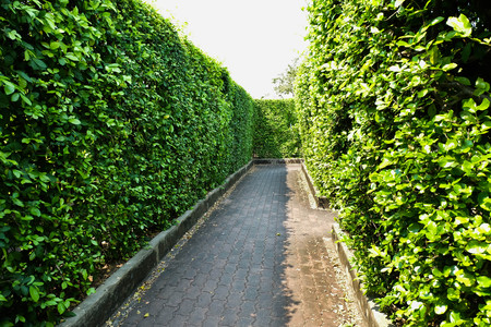 hedges: Hedges in maze garden