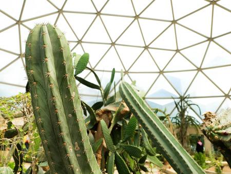 peyote: Cactus in garden ,SUANLUANG RAMA IX,Bangkok,Thailand Stock Photo