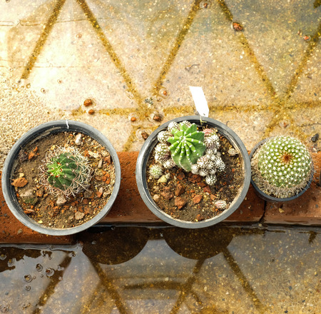 peyote: Cactus in garden ,SUANLUANG RAMA IX,Bangkok,Thailand Editorial